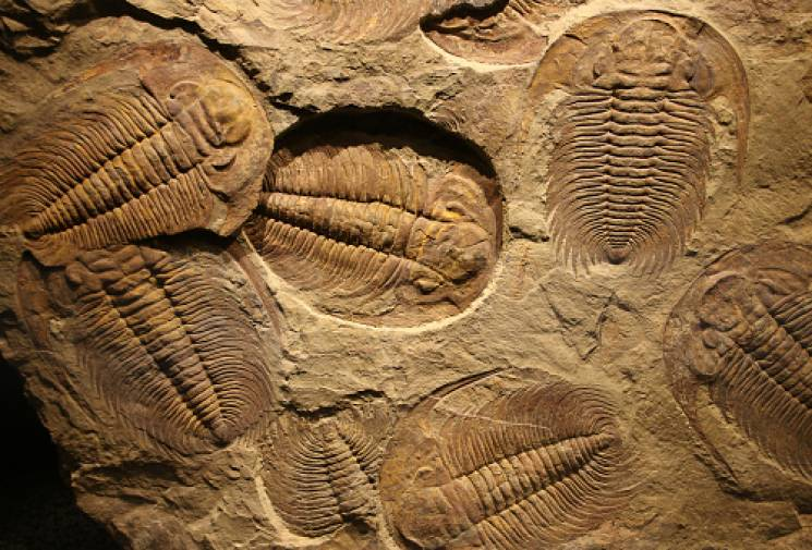 Trilobites like these are a well-known fossil of life from the Cambrian Explosion; Getty Images