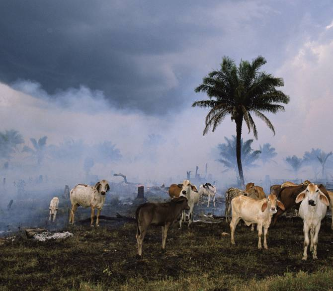 Cows by smoldering forest. Getty