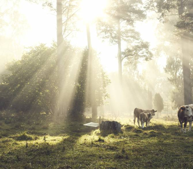 Cattle graze in a rainforest; Getty Images