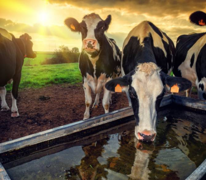 Cows drink water in more ways than one;Getty Images