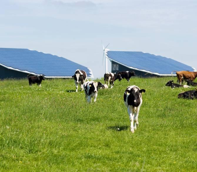 Cows in a solar farm; Getty