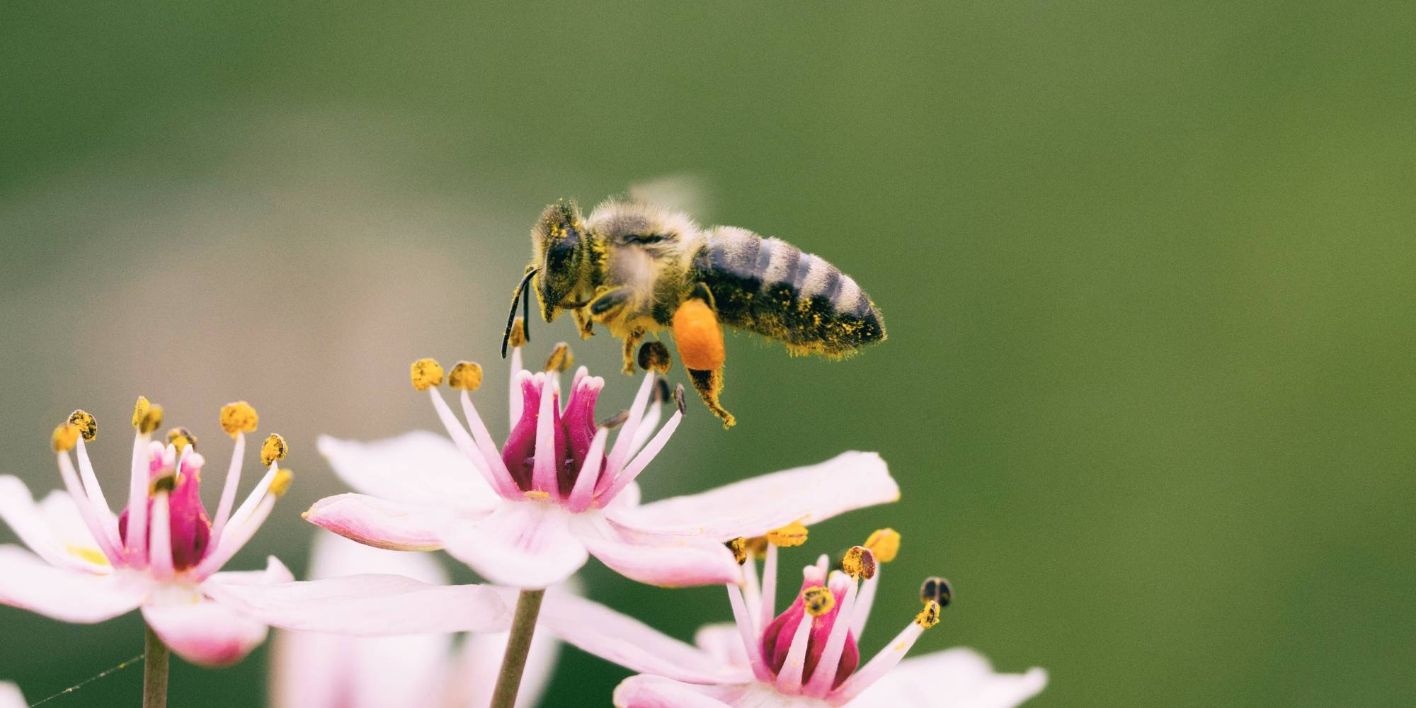 Bees are critical to our ecosystem, yet they are disappearing in part to pesticides; Unsplash